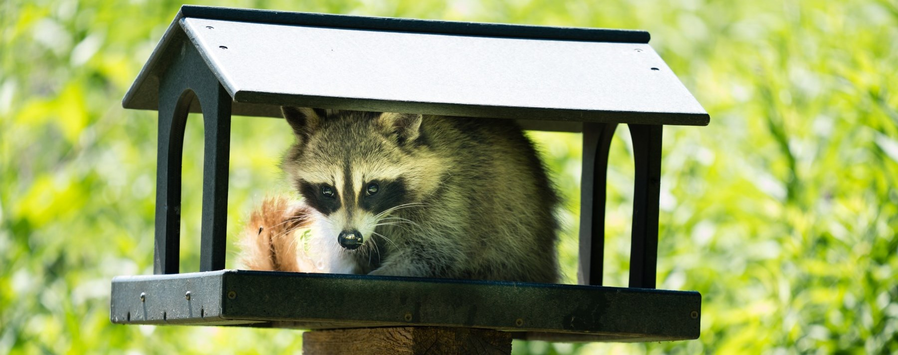 Grey raccoon sitting in a mailbox